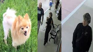 Stolen service dog: Veteran with PTSD needs help finding Pomeranian