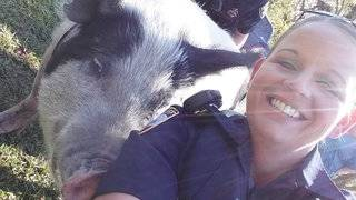 Big problem, pig problem or no trouble at all? Deputies charmed by 'Miss Piggy'