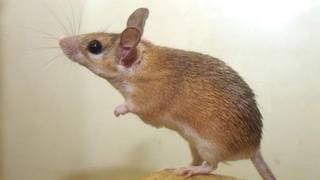 New viruses, superbugs found in study of NYC house mice