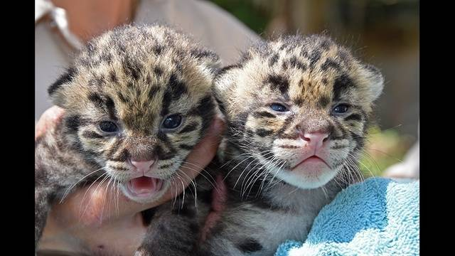 clouded leopard cubs born at zoo miami