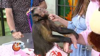 Monkey friends stop by with gifts for Fiona & Mike