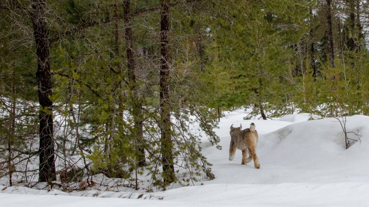 canada lynx in michigan 2 (1)_1555348792548.jpg.jpg