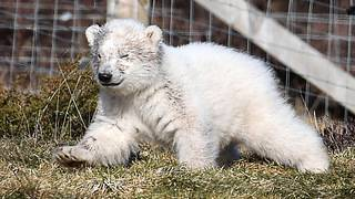 UK to get first glimpse of polar bear cub