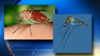 Florida researchers find 2 new invasive mosquitoes in state