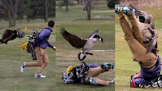 Canadian goose attacks high school golfer on Michigan course