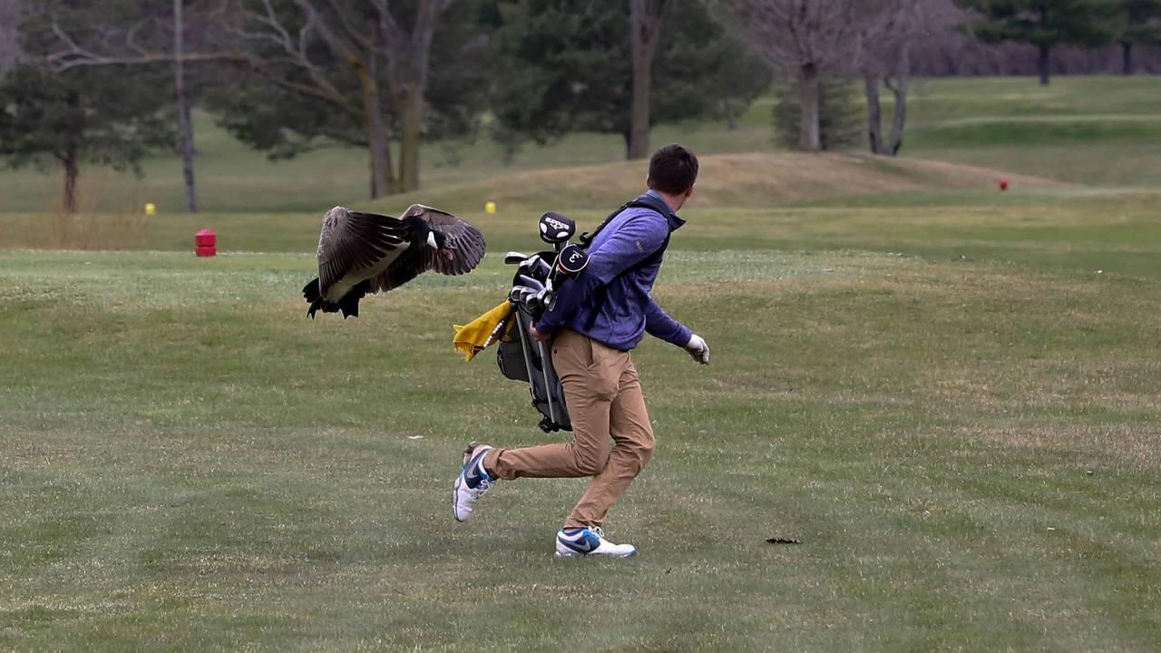 Golfer attacked by Goose 1.jpg37193984