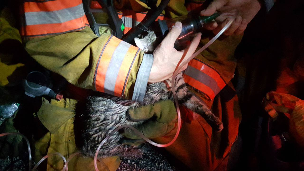 cat saved from fire in plantation firefighter home