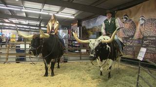 Get up close, personal with Texas Longhorns at SA Stock Show &amp&#x3b; Rodeo