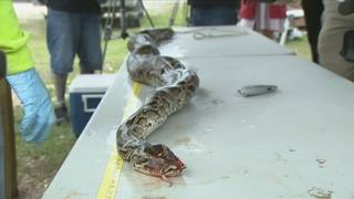 1,000th Burmese python captured during water management's Python&hellip&#x3b;