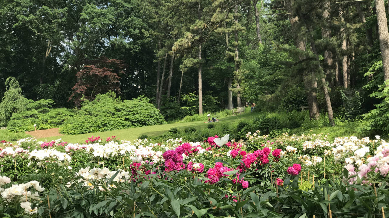 Ann Arbor peony garden