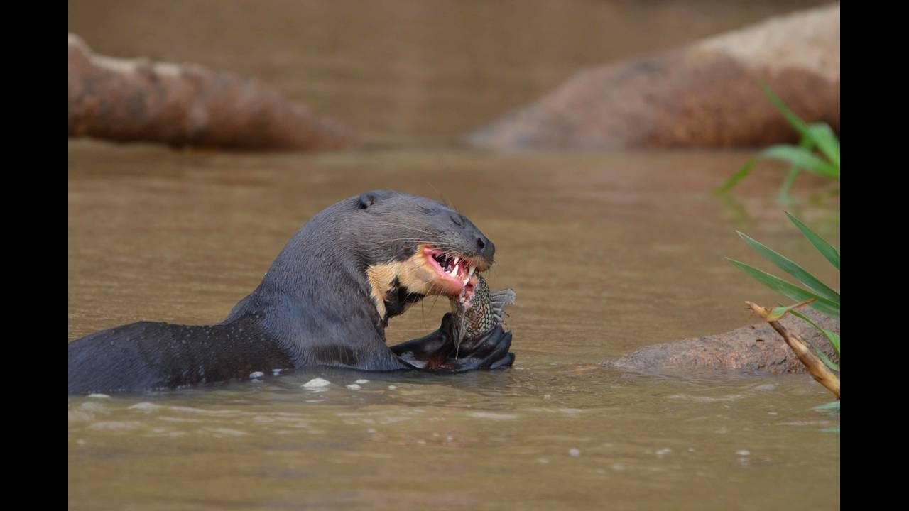 Otter eating 1_1570414277077.jpg.jpg