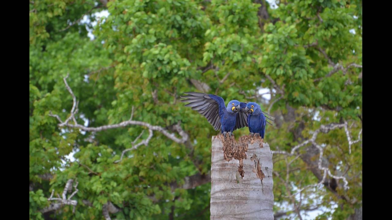 Hyacinth macaw2_1570152566239.jpg.jpg