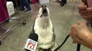 Thousands of dogs compete in Orlando for American Kennel Club show